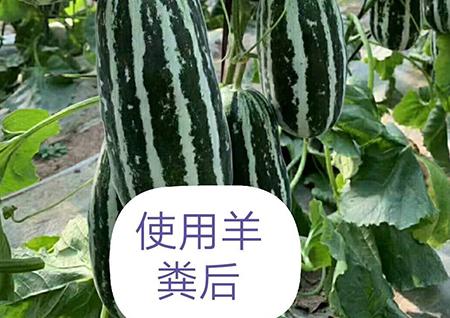 香瓜种植使用羊粪