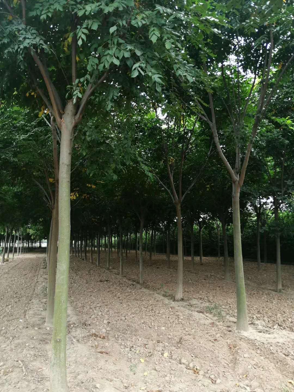 14公分欒樹價格
