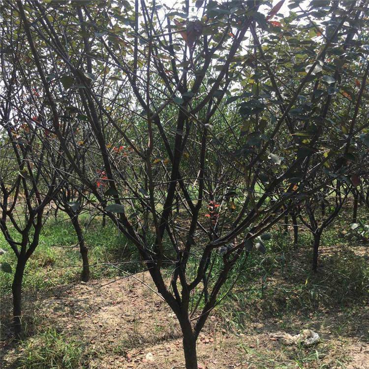 15公分红梅树价格
