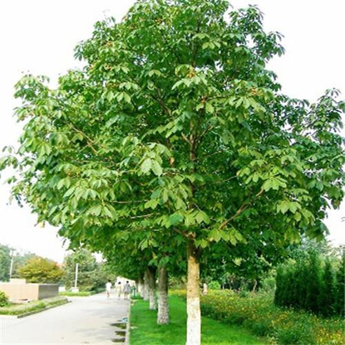 15公分欒樹價格