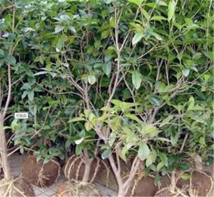 叢生臘梅樹