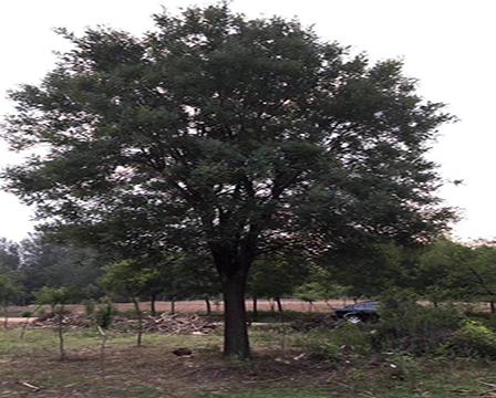 黄山栾树价格