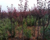 15公分黃山欒樹價格