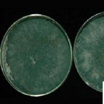 綠色木黴菌:Trichoderma virid