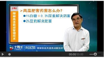 成年版快猫专家大讲堂辣椒秋延高温栽培新技术