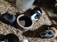 湖北豚鼠養殖視頻