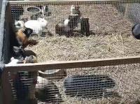 豚鼠養殖視頻
