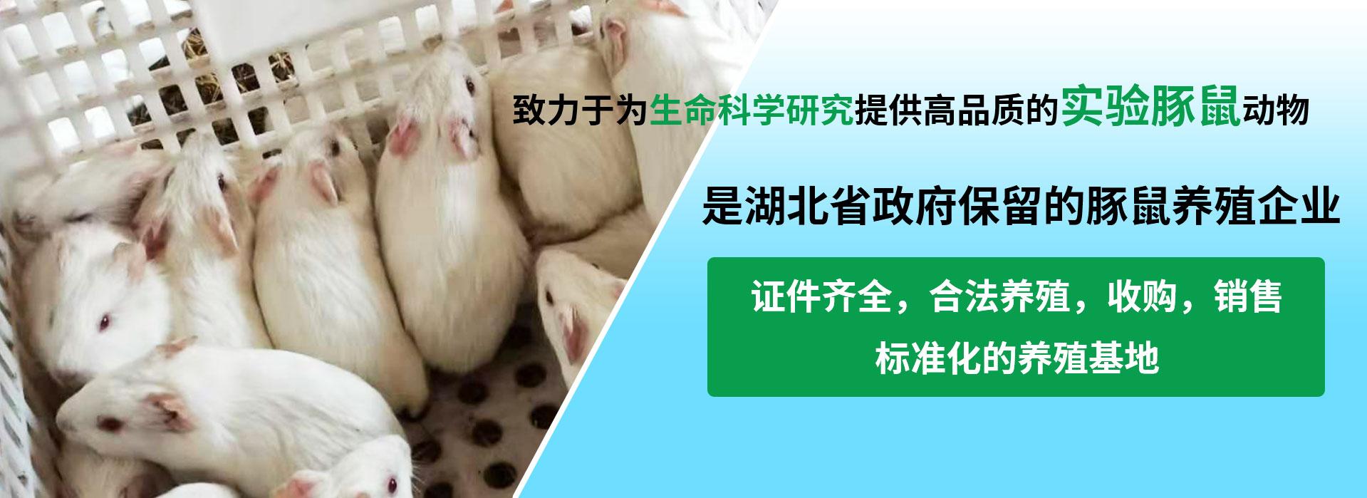 實驗白豚鼠養殖,白豚鼠養殖培訓,白豚鼠養殖技術