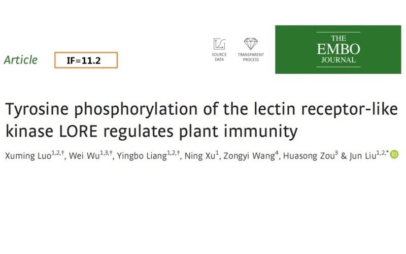 凝集素受體樣激酶LORE的酪氨酸磷酸化調節植物免疫力