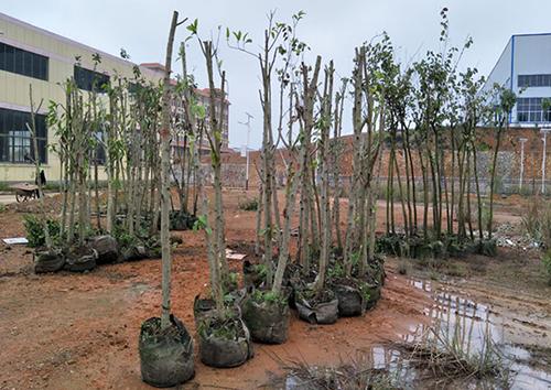 扶綏縣林業局贈予我司200棵珍貴綠化苗木,助力美麗扶綏生態工業園區建設