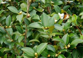 軟枝油茶造林管理