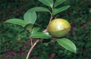 哪種土地類型適合種植山茶油樹