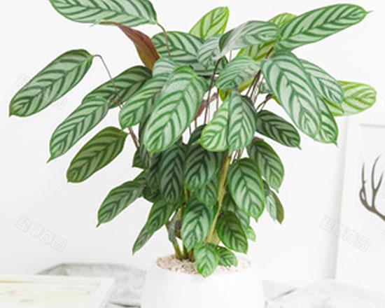 竹芋類植物