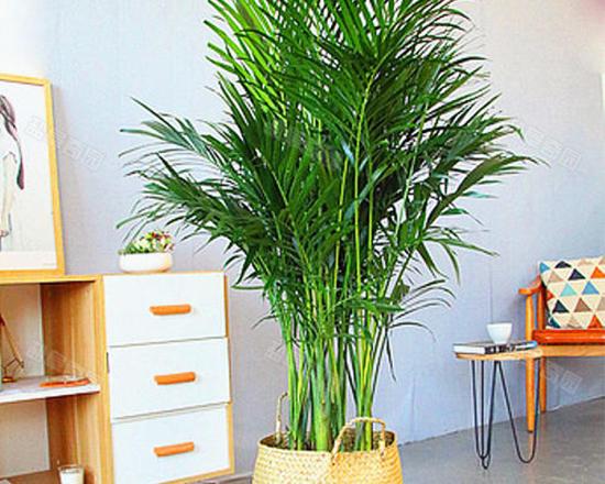 北京富貴椰子
