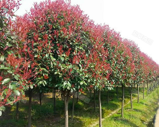 紅葉石楠樹