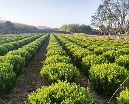 瓜子黃楊種植基地