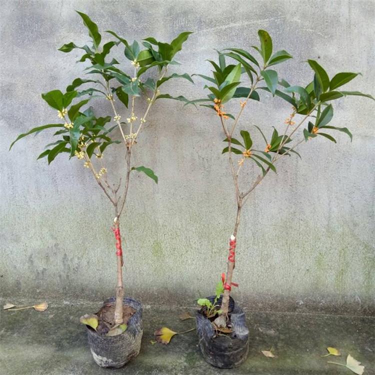 鄢陵桂花種植基地