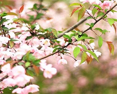 櫻花種植基地