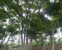 上海叢生欒樹