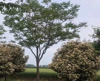 20公分欒樹