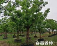 上海容器香樟