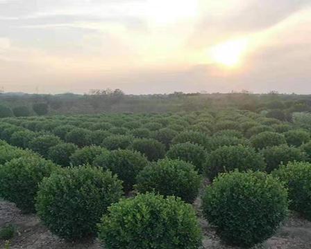 大葉黃楊種植基地