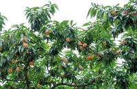 桃树灌水的时期主要有以下几个方面