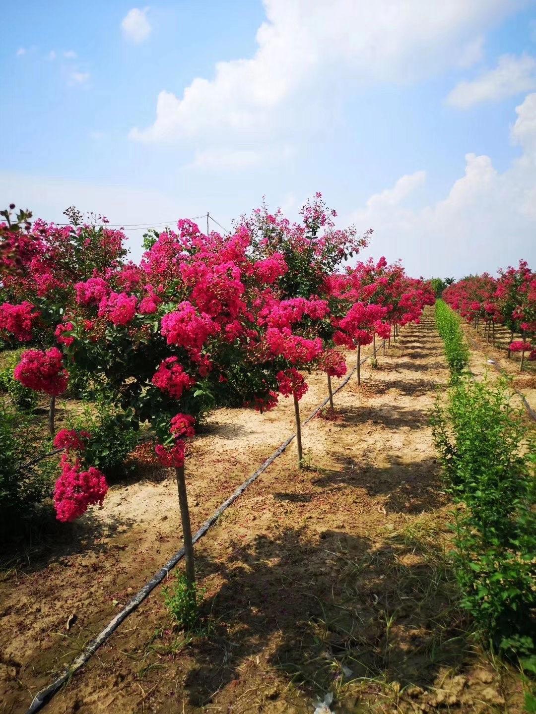 鄢陵紫薇種植基地