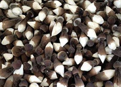 黑皮雞樅菌基地