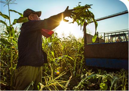 玉米種植基地