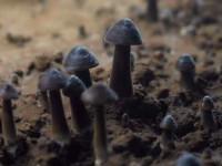 黑皮雞樅菌