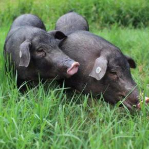 跑山豬特色農業養殖