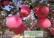 ?我现在正在给苹果树施基肥,其中的澳门新普京就是主要原料